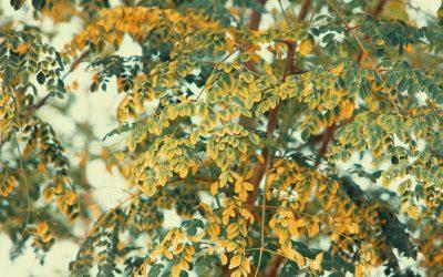 The Moringa Is a Very Good Tree
